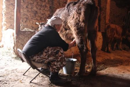 Корова, телёнок, два ишака — весь скот, который содержит Исаева.