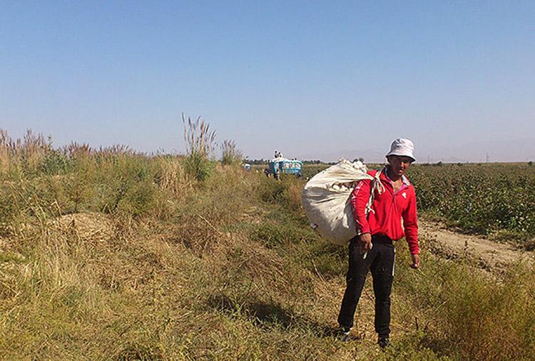 uzbek_cotton_harvest_2013_1