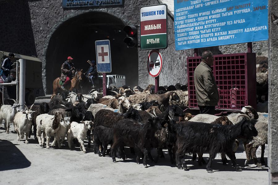 Горный туннель закрыт на час: чабаны переводят стада на летние пастбища.