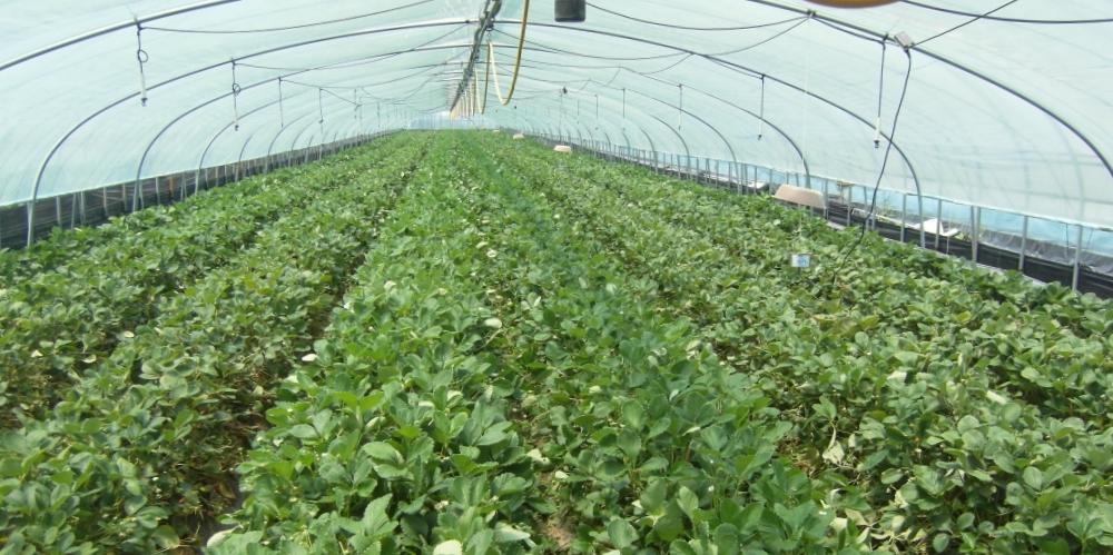 """Внутри фермерской теплицы. Фото: сайт """"АПЭК""""."""
