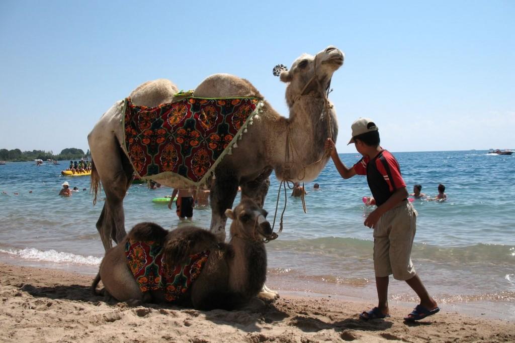 Issyk-Kul_Camel
