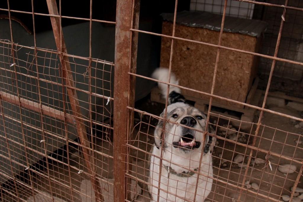 Заметно большое количество алабаев. Учредитель фонда Алла Кобцова объясняет это тем, что порода очень популярна, но многие хозяева не справляются с этими крупными собаками.