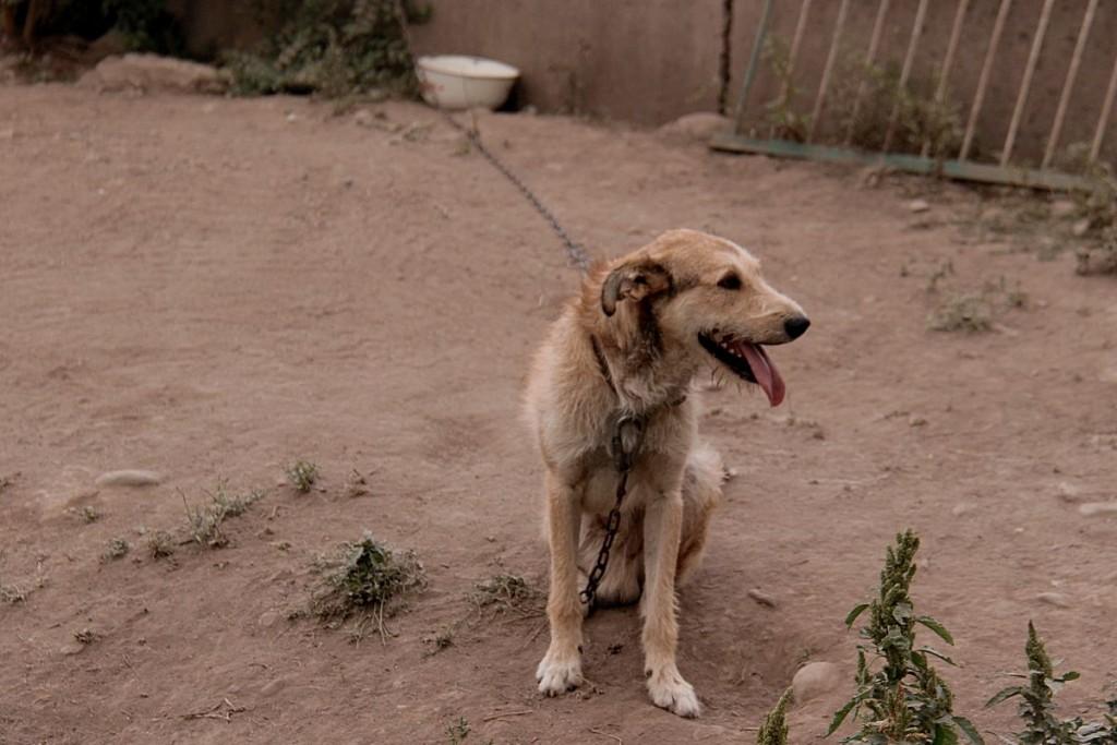 Чтобы обеспечить безопасность всех питомцев, некоторых крупных собак приходится привязывать.