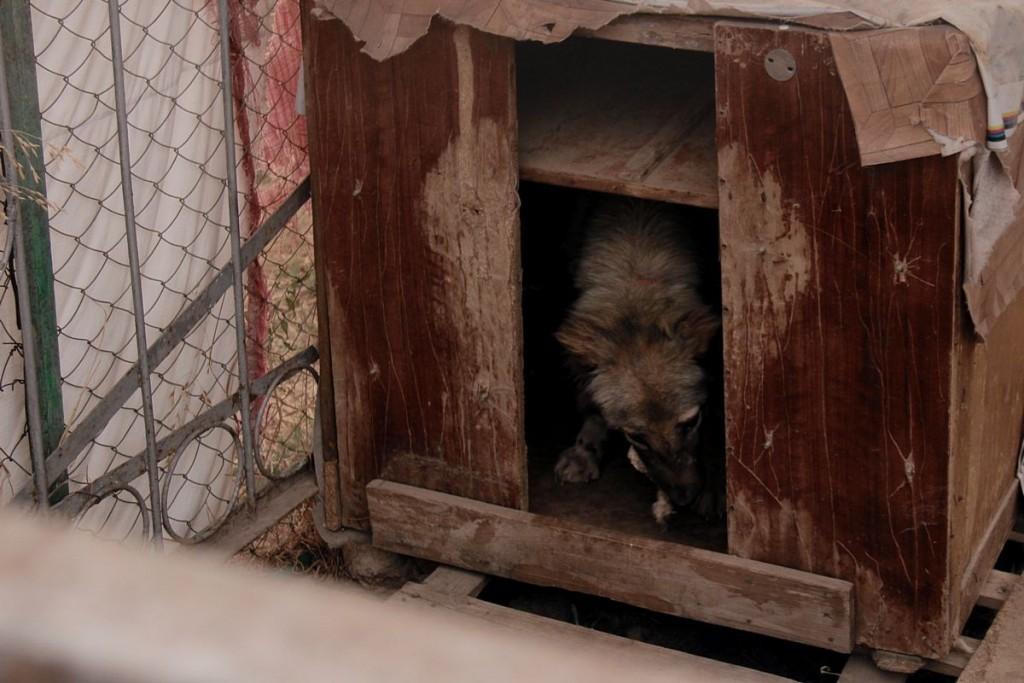 Лючию недавно спасли из люка, в который она провалилась и не могла выбраться. Собака была крайне истощена и нуждалась в особом уходе.