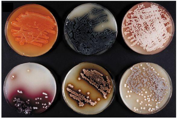 Бактерии стрептомицета
