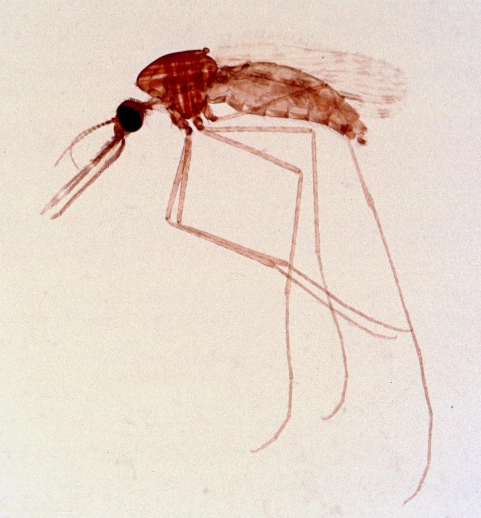 Комар Anopheles, переносчик малярии