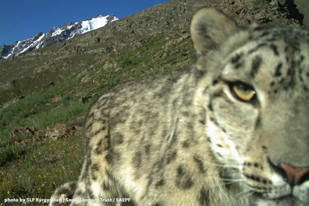 shamshy-snow-leopard-1-590x393