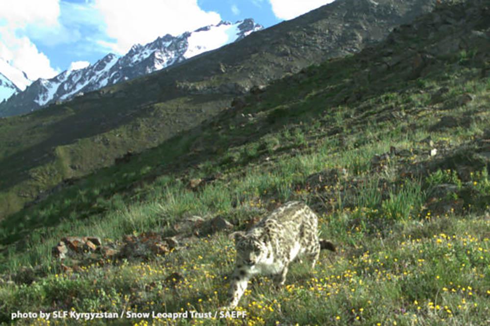 shamshy-snow-leopard-2-600x400