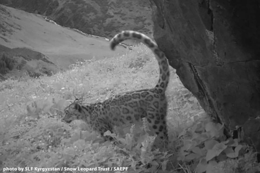 shamshy-snow-leopard-4-600x400