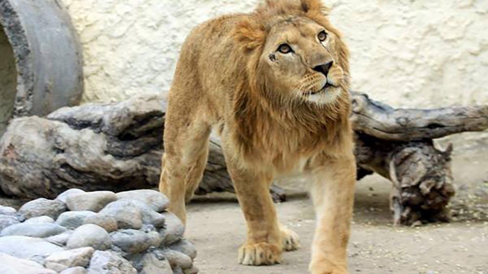 Есть в Караколе и свой лев - Симба.