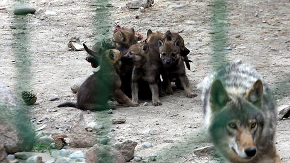 Выводок волчат в каракольском зоопарке.