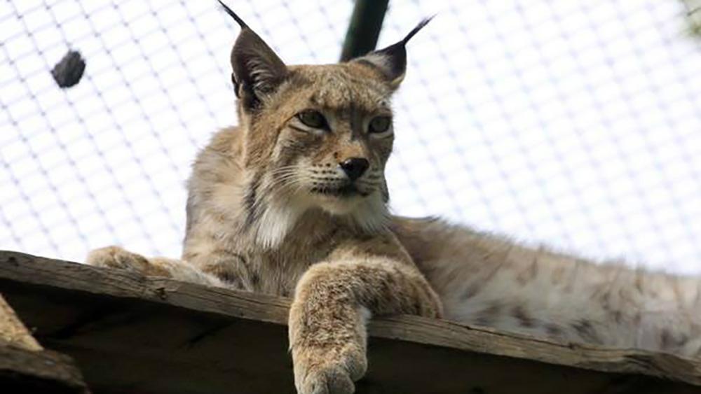Рысь - одна из обитательниц каракольского зоопарка.