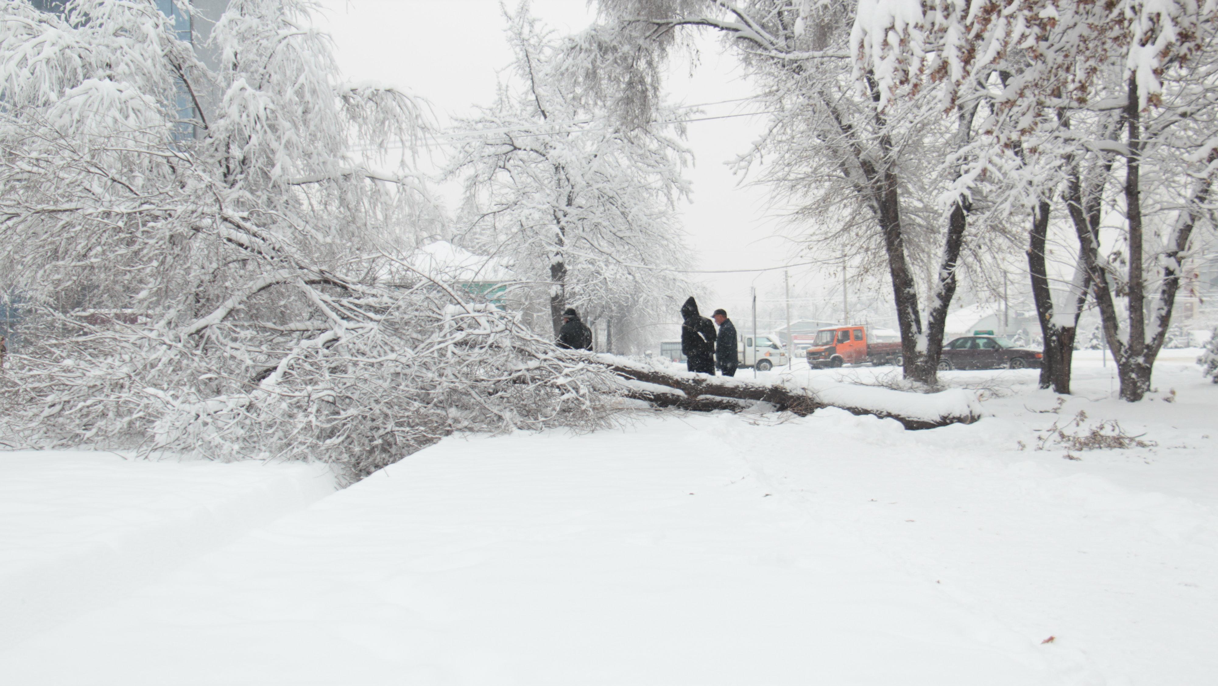 Сразу несколько деревьев упали у ресторана «Нарын».
