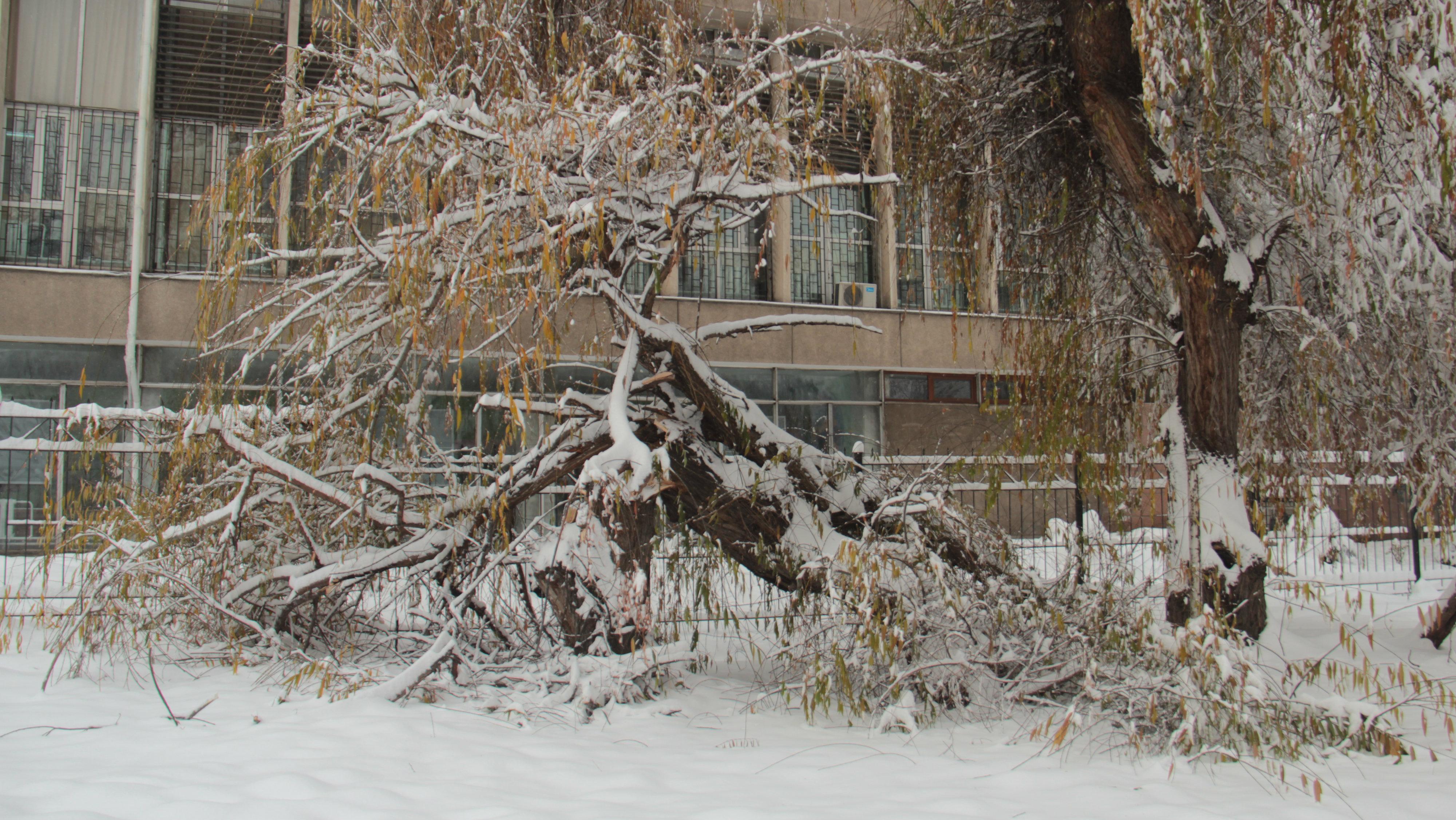 Сломанное дерево у театра «Сейтек».