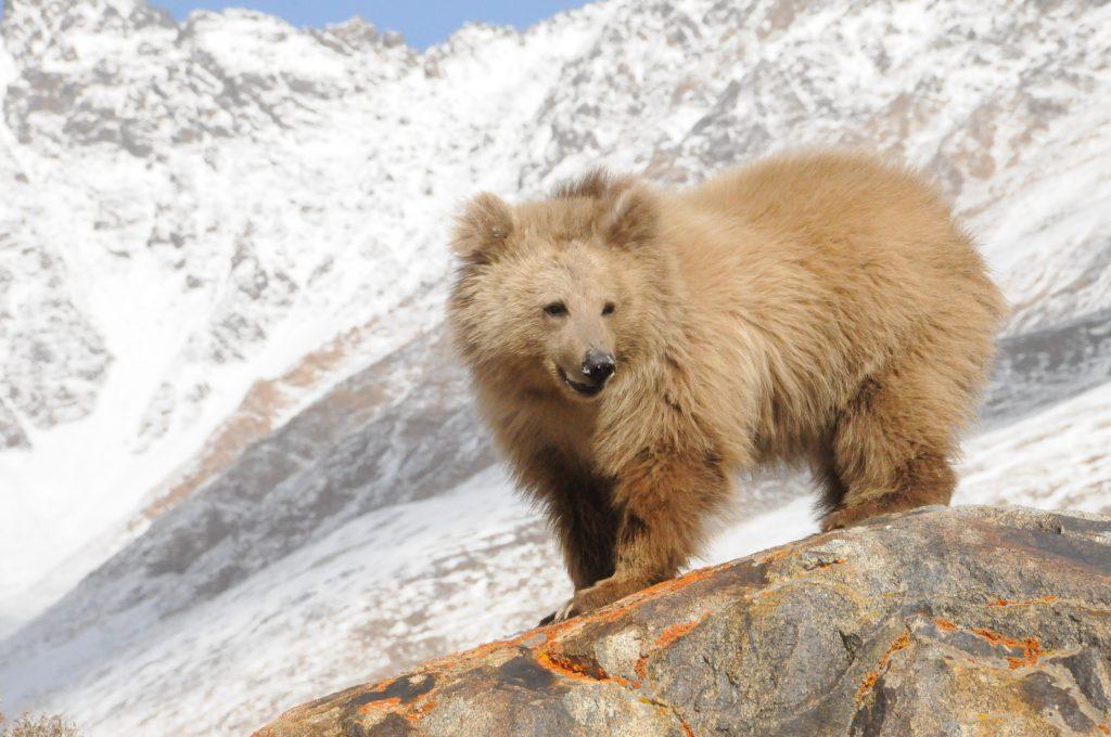 Горный медведь фото